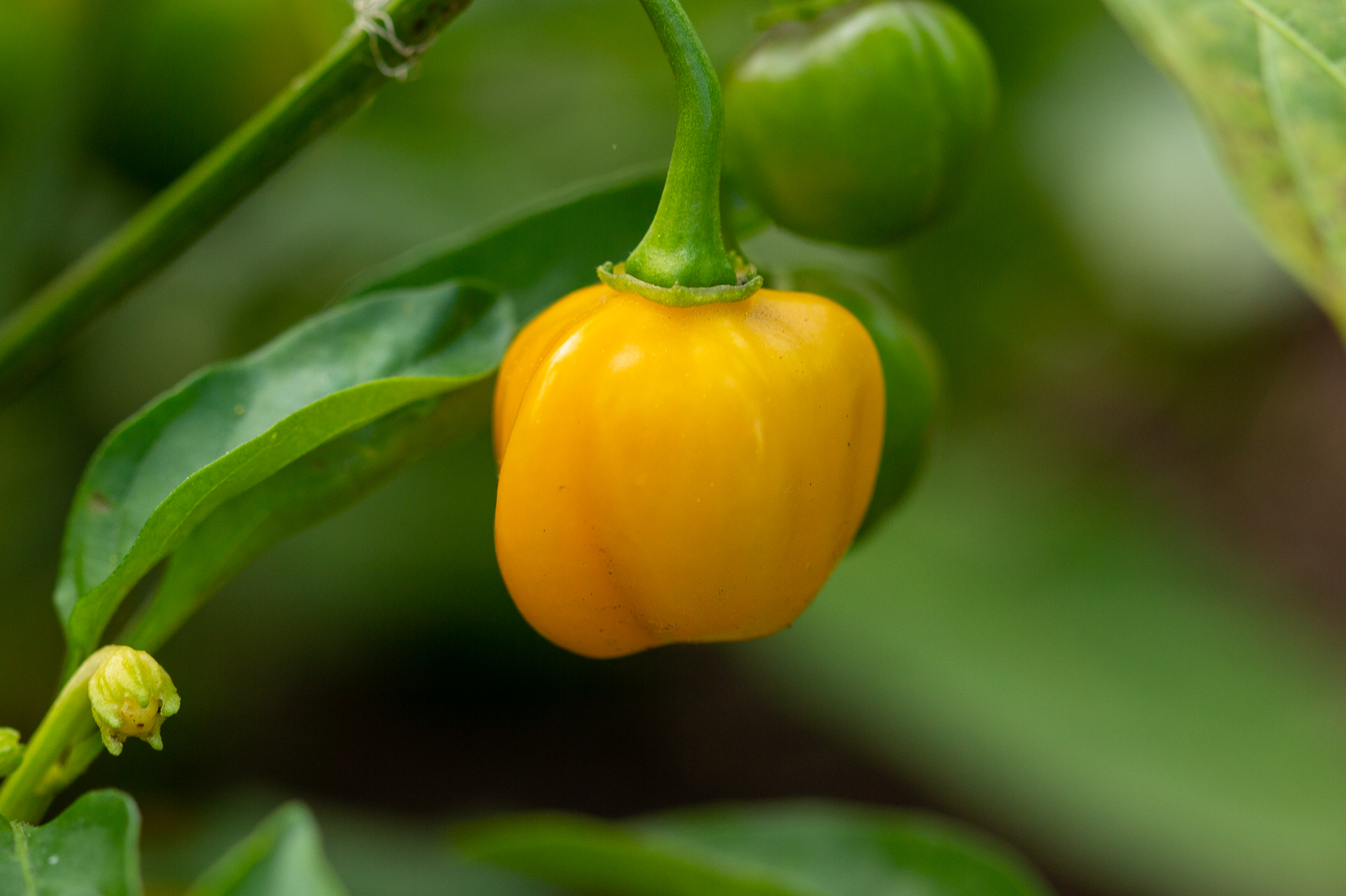 Just about every dish in my house gets an extra hit of heat. Valentina, Tapatio, Sambal Olek, Sriracha…the list goes on. With a bounty of habaneros in this year's garden, […]